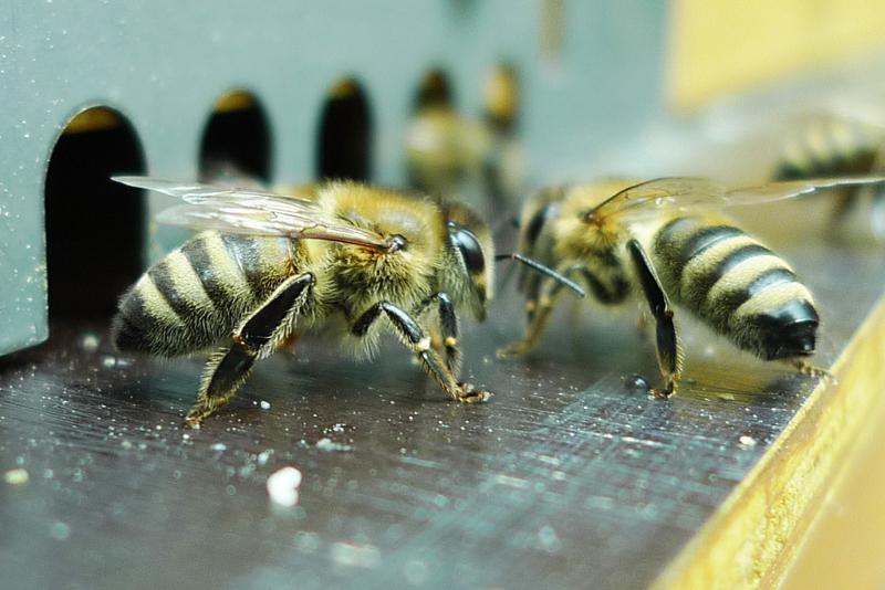 Um die Welt Bienen