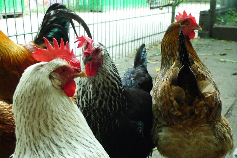 Hühner auf dem Motte-Hühnerhof