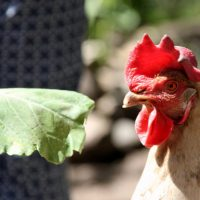 Mottehuehnerhof Ottensen Hühner Eier
