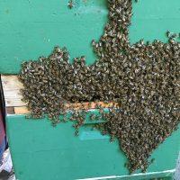 herumlungernde Bienen