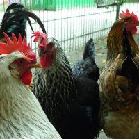 Motte-Hühner