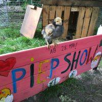 Peepshow auf dem MOTTE Hühnerhof