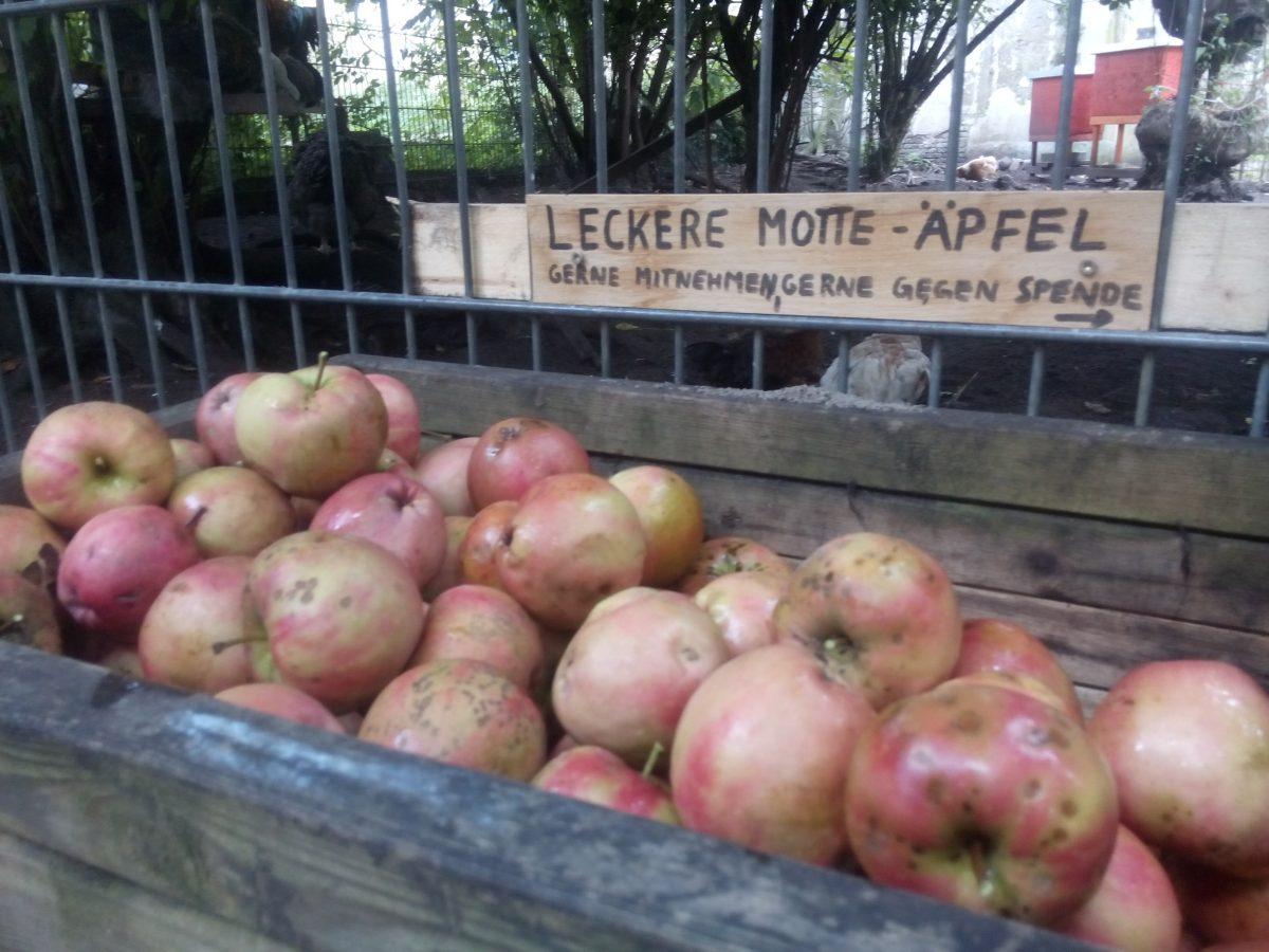 Frische Herbstäpfel – gepflückt, nicht gefallen